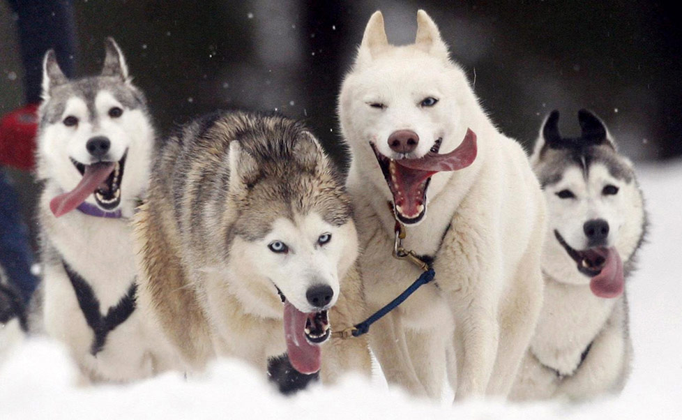 What Kind Of Dogs Can Race In The Iditarod