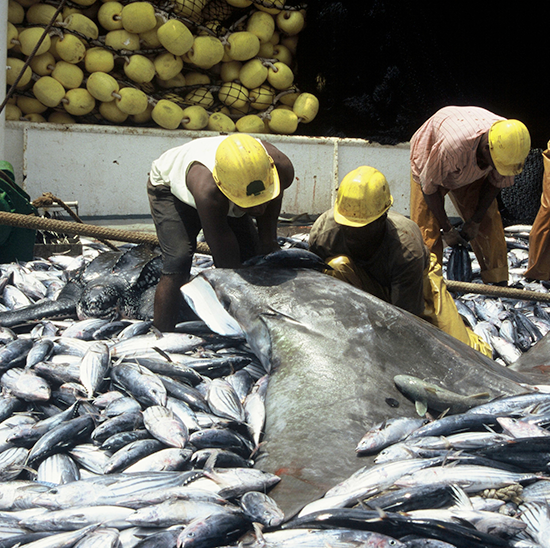 'They are taking out a generation of tuna': overfishing causes crisis in Philippines