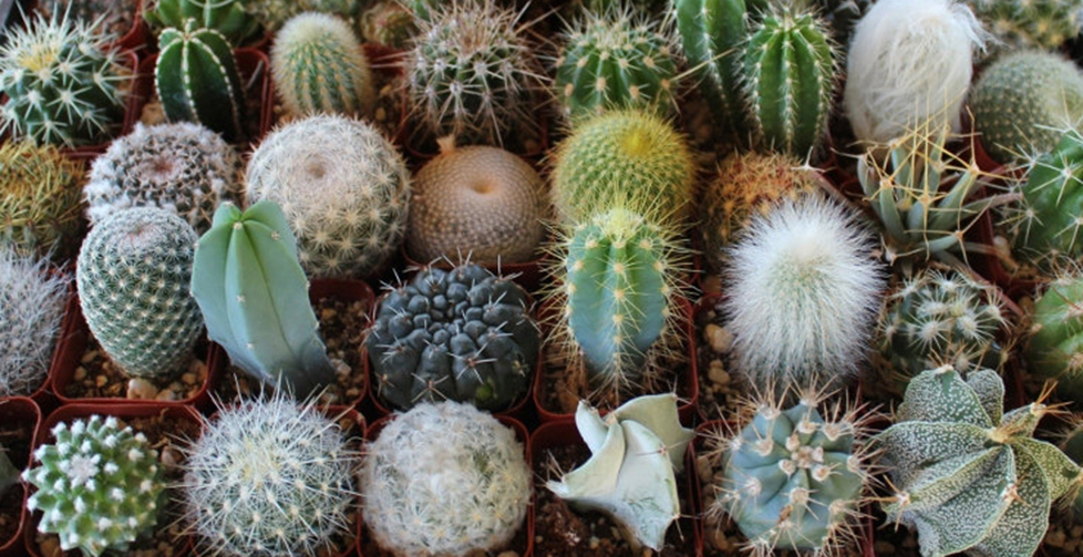 1 3 what is a cactus smrt english - What is cactus plant good for ...